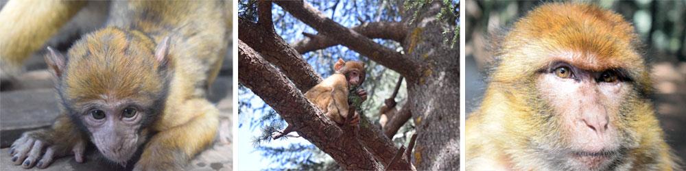 Monos de berbería en el Parque Nacional de Ifrane